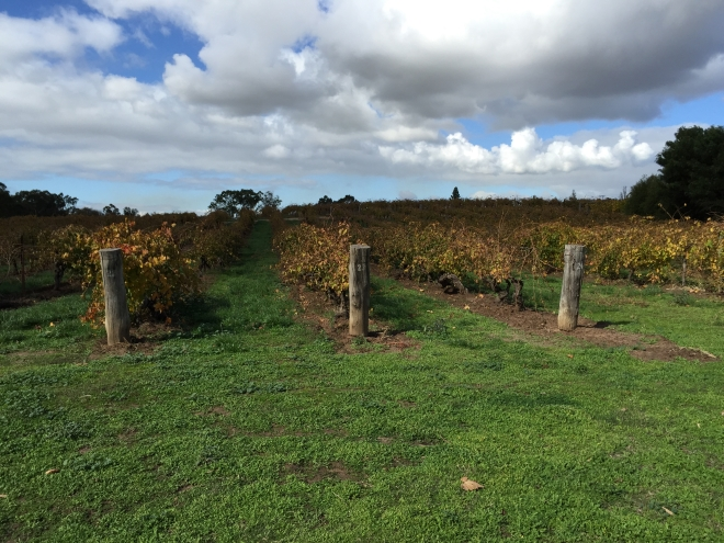 The Freedom Vineyard at Langmeil - some of the oldest Shiraz vines in the world, 5 minutes from home