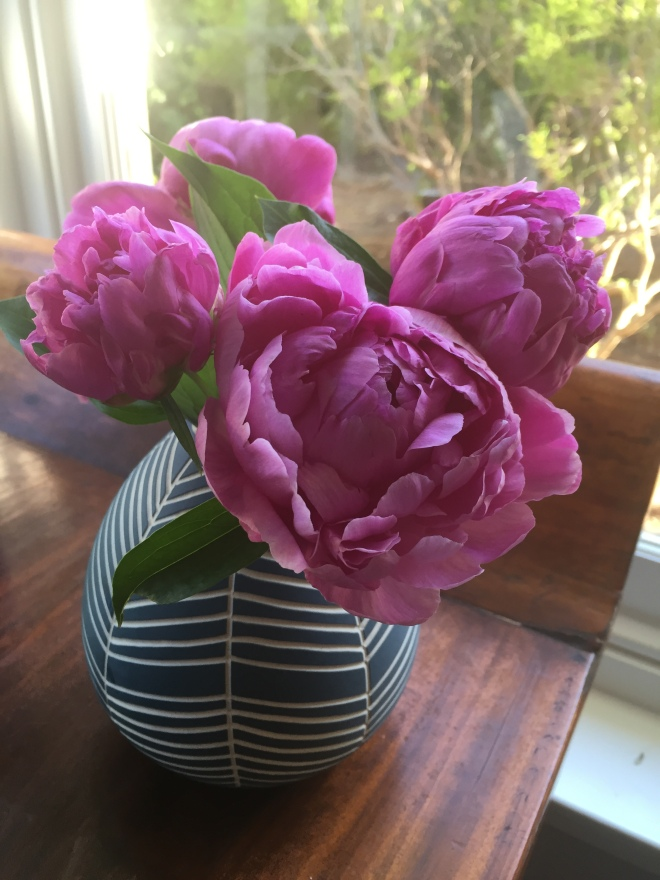 The peonies I discovered in our beautiful but overgrown garden